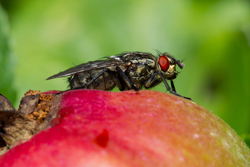 fruit_fly