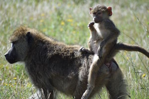 Baboons predicted to die young, do not also 'live fast'